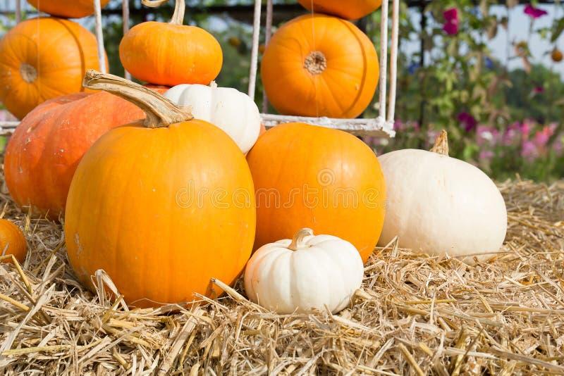 Het seizoen van de pompoenoogst op het landbouwbedrijf royalty-vrije stock afbeelding