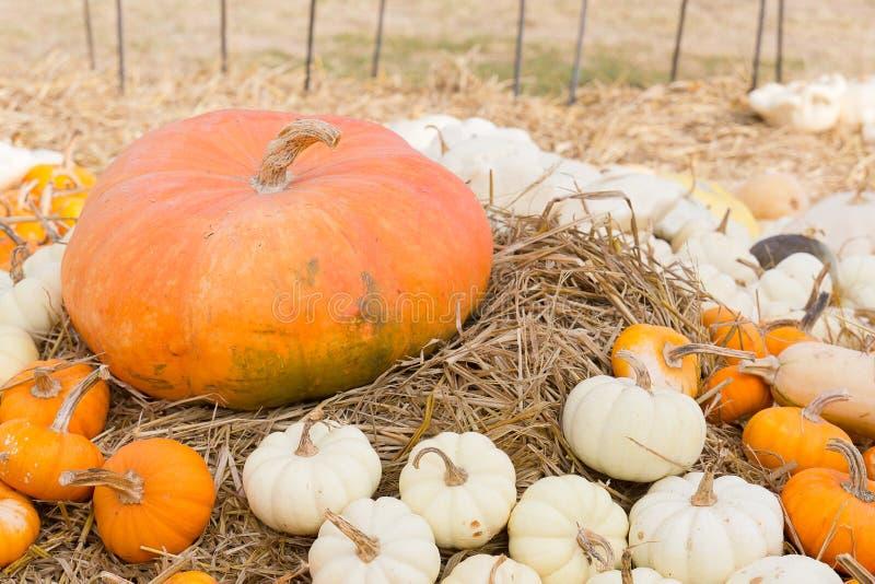 Het seizoen van de pompoenoogst op het landbouwbedrijf stock afbeelding