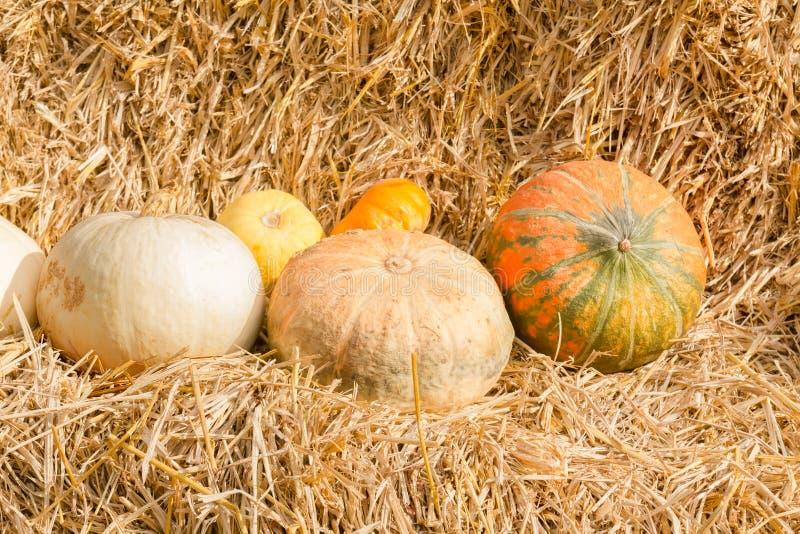 Het seizoen van de pompoenoogst op het landbouwbedrijf royalty-vrije stock afbeeldingen