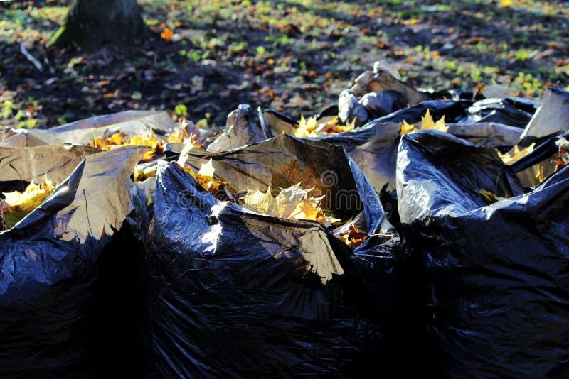 het seizoengebonden werk bij het schoonmaken van het park van gevallen bladeren, die in vuilniszakken voor de verdere uitvoer inp stock foto's
