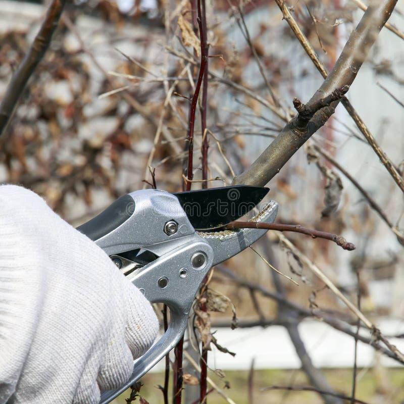Het seizoengebonden werk die van de de lentetuin de extra sheaboom van het knopenmetaal snijden stock foto's