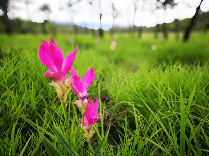 Het selectieve concentreren zich op de tulpenbloem van Siam met achtergrond van groene weide in regenwoud op bewolkte dag stock afbeeldingen