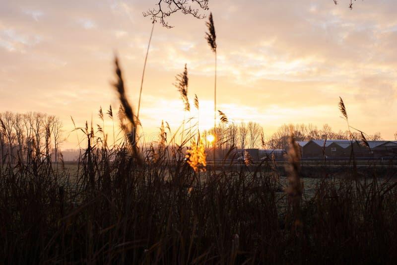 Het selectieve zachte nadruk droge gras, riet, besluipt het blazen in de wind bij gouden zonsondergang lichte, horizontale, vage  stock fotografie