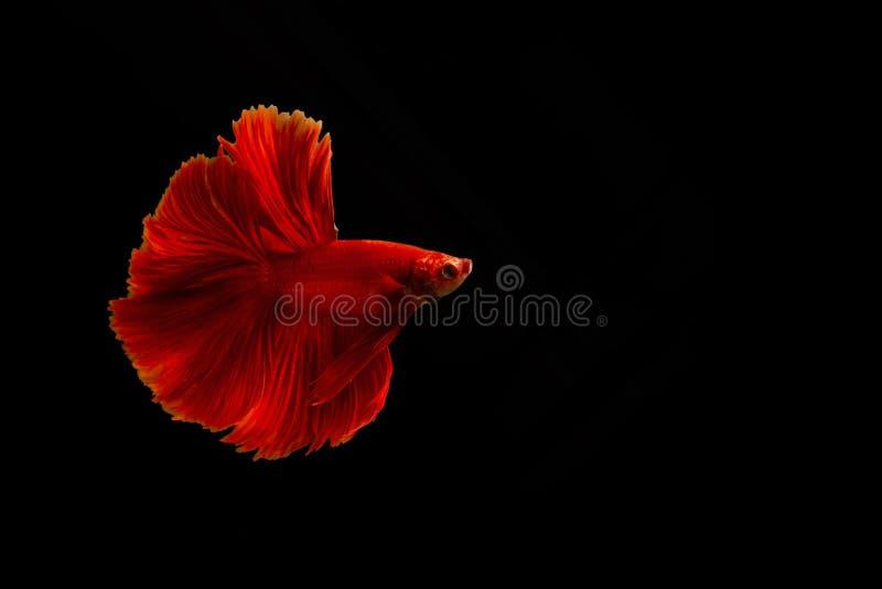 Het Siamese rode vechten vist of bettavissen geïsoleerd op zwarte achtergrond met het knippen van weg en exemplaarruimte royalty-vrije stock foto
