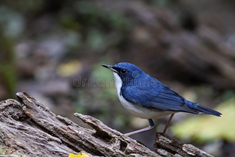 Het Siberische blauwe mannetje van Robin op logboek stock afbeelding