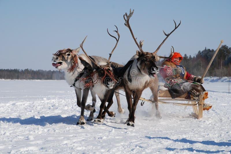 Het Siberische herten rennen stock foto's
