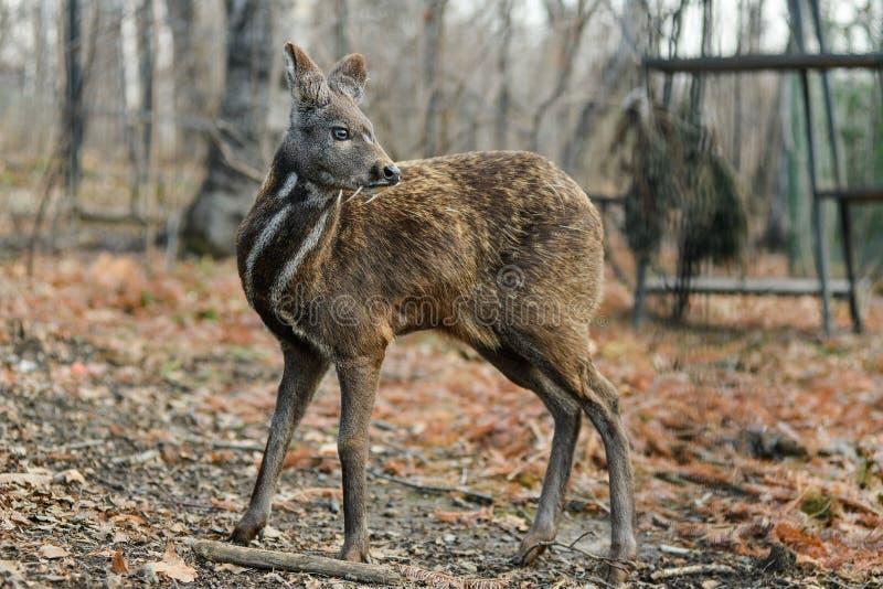 Het Siberische hoofed dierlijke zeldzame paar van muskusherten royalty-vrije stock fotografie