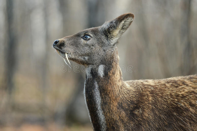 Het Siberische hoofed dierlijke zeldzame paar van muskusherten stock fotografie