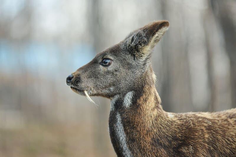 Het Siberische hoofed dierlijke zeldzame paar van muskusherten stock afbeelding