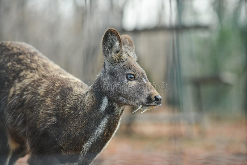Het Siberische hoofed dierlijke zeldzame paar van muskusherten royalty-vrije stock afbeeldingen