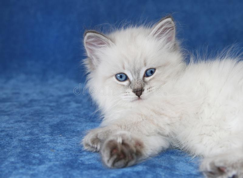 Het Siberische katje van neva masquarade blauwe colorpoint royalty-vrije stock foto