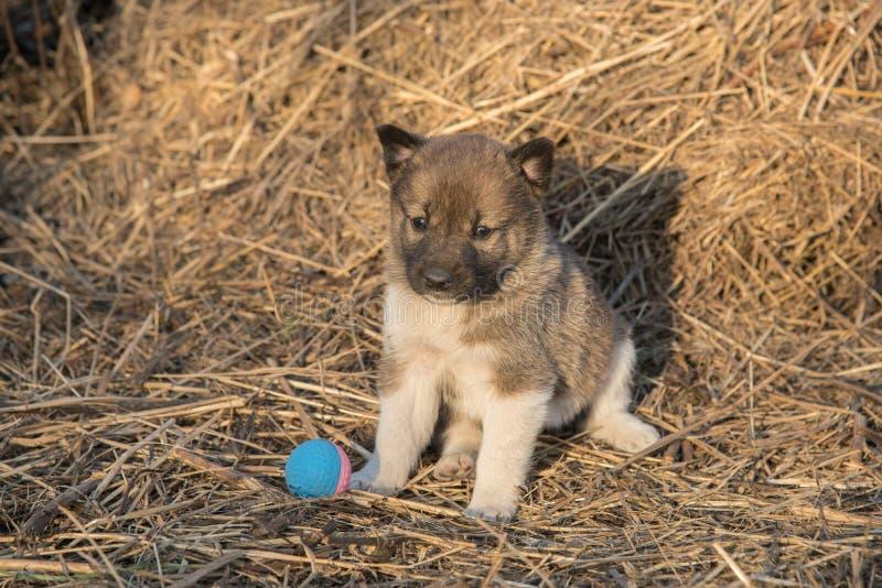 Het Siberische Laika-puppy zit op het hooi en naast hem is a royalty-vrije stock fotografie