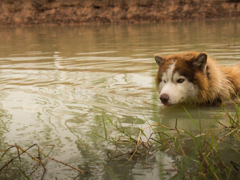 Het Siberische schor hond zwemmen royalty-vrije stock foto