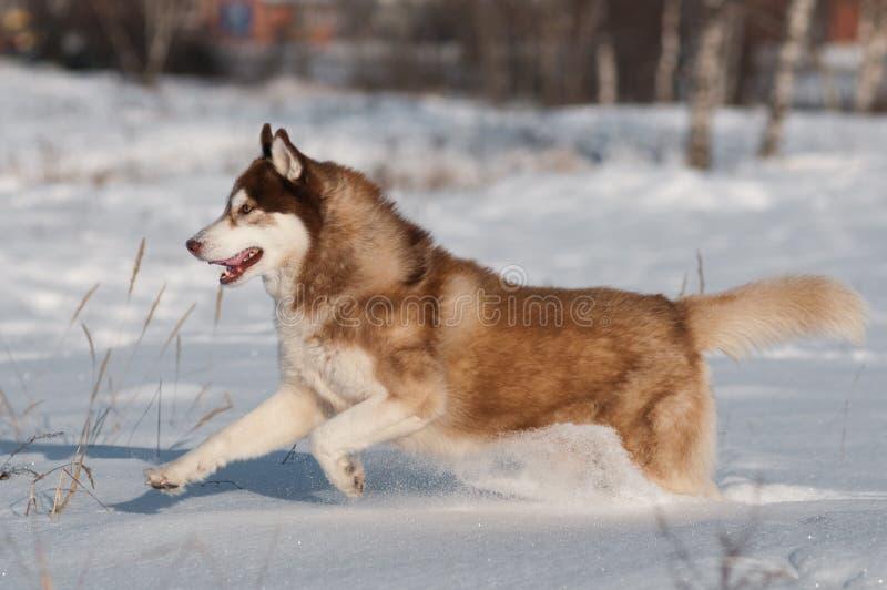 Het Siberische schor lopen in de sneeuw stock fotografie