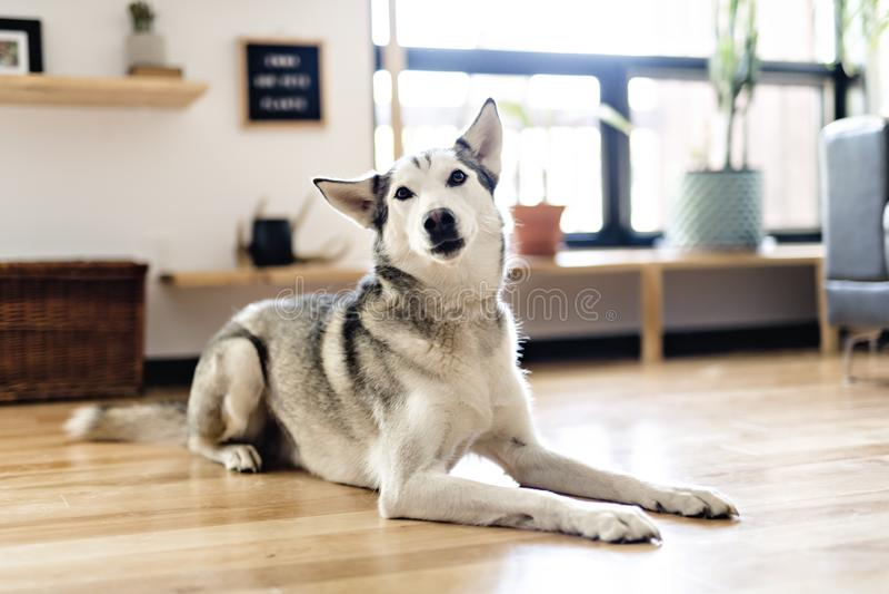 Het Siberische schor thuis liggen op de vloer levensstijl met hond royalty-vrije stock fotografie
