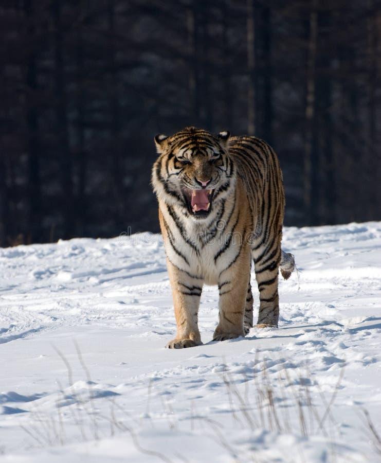 Het Siberische Snauwen van de Tijger royalty-vrije stock foto's