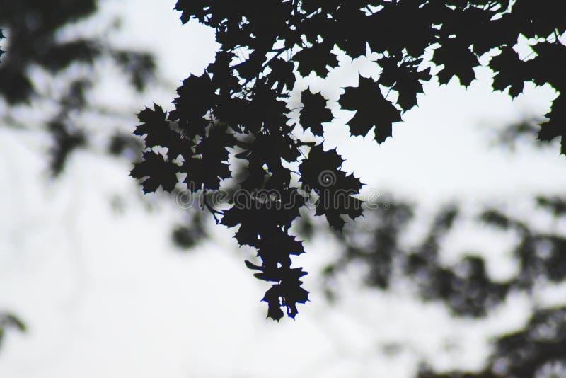 Het silhouet doorbladert stock fotografie