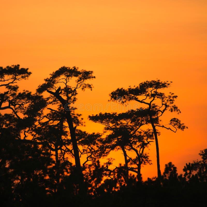 Het silhouet en de Zonsondergang van Forest Pine bij het Nationale Park van Phu Kradueng royalty-vrije stock foto's
