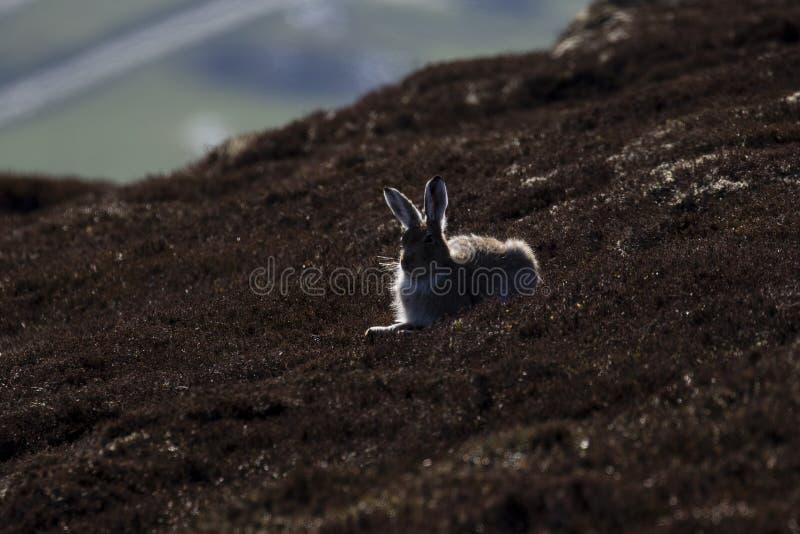 Het silhouet van berghazen, Lepus-timidus die op een berghelling rusten in het rookkwarts nationale park, Schotland stock afbeeldingen