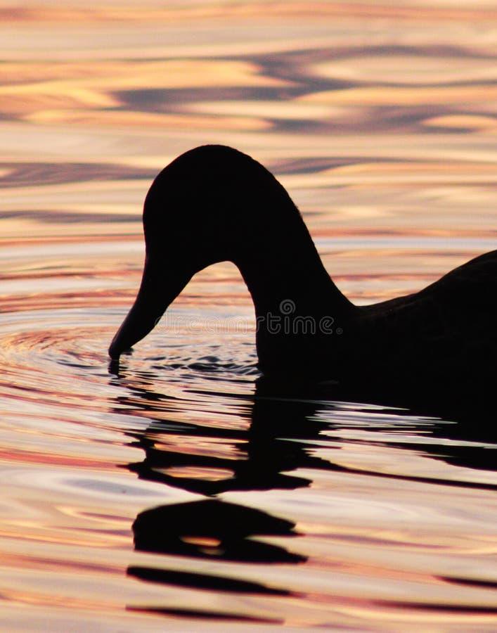 Het silhouet van de eend stock fotografie