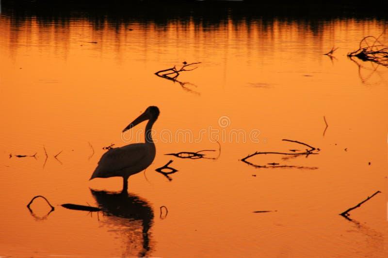 Het Silhouet van de pelikaan stock afbeeldingen