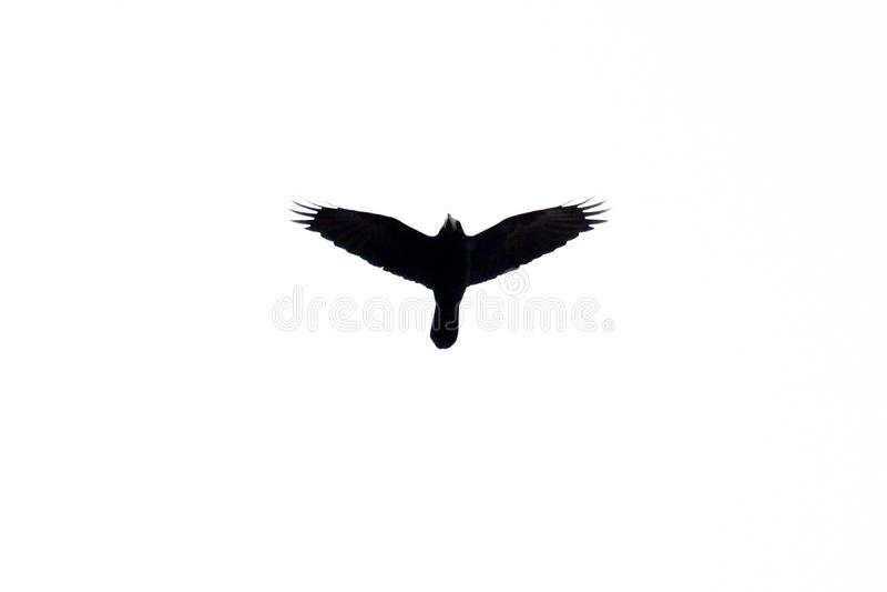 Het silhouet van een het stijgen vogel op een witte hieronder achtergrond stock illustratie