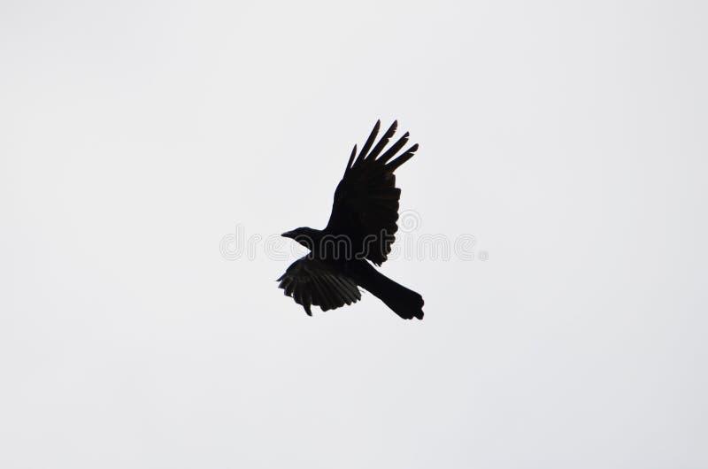 Het silhouet van een vliegende kraai royalty-vrije stock afbeeldingen