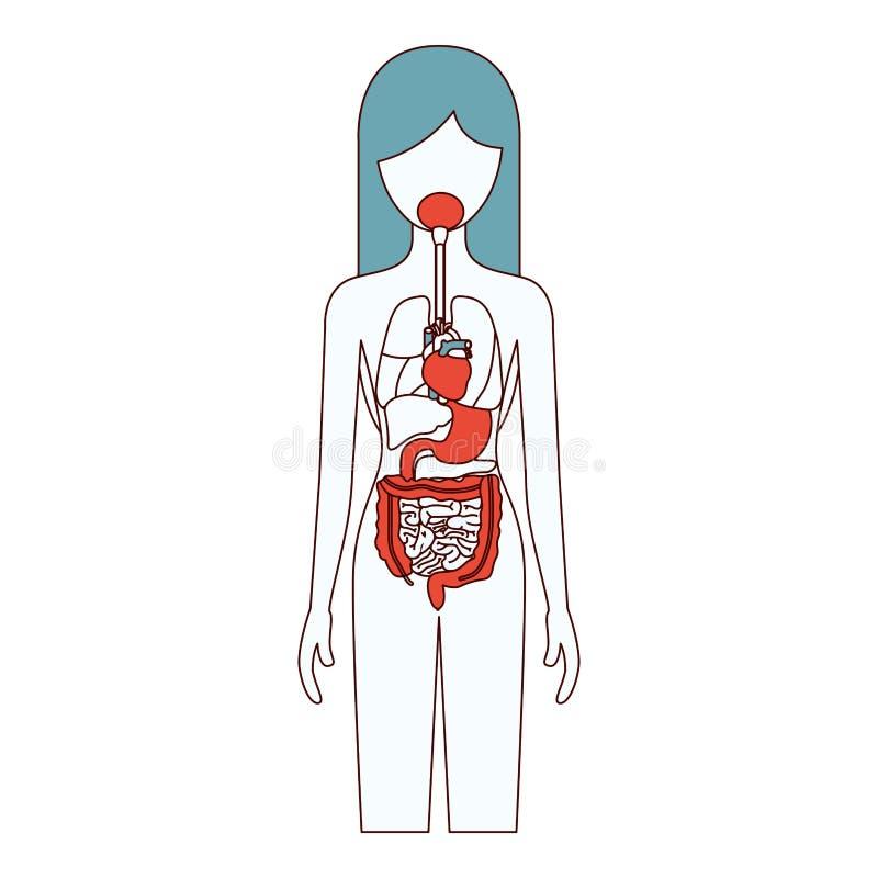 Het silhouet vrouwelijke persoon van kleurensecties met intern organensysteem van menselijk lichaam stock illustratie