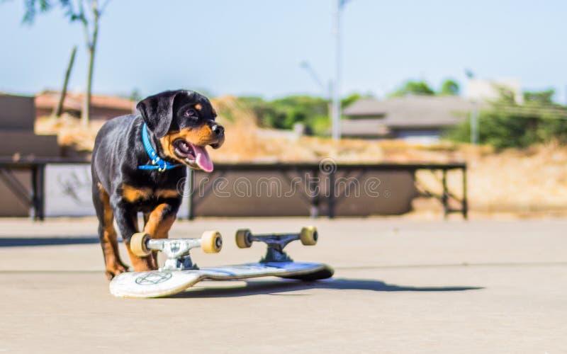 Het skateboard van babyrottweiller royalty-vrije stock afbeeldingen