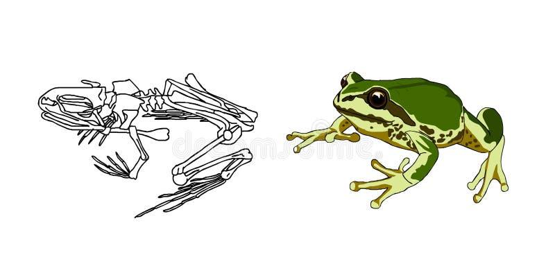 Het skelet van amfibieen pad Kikker anatomie Vector royalty-vrije illustratie