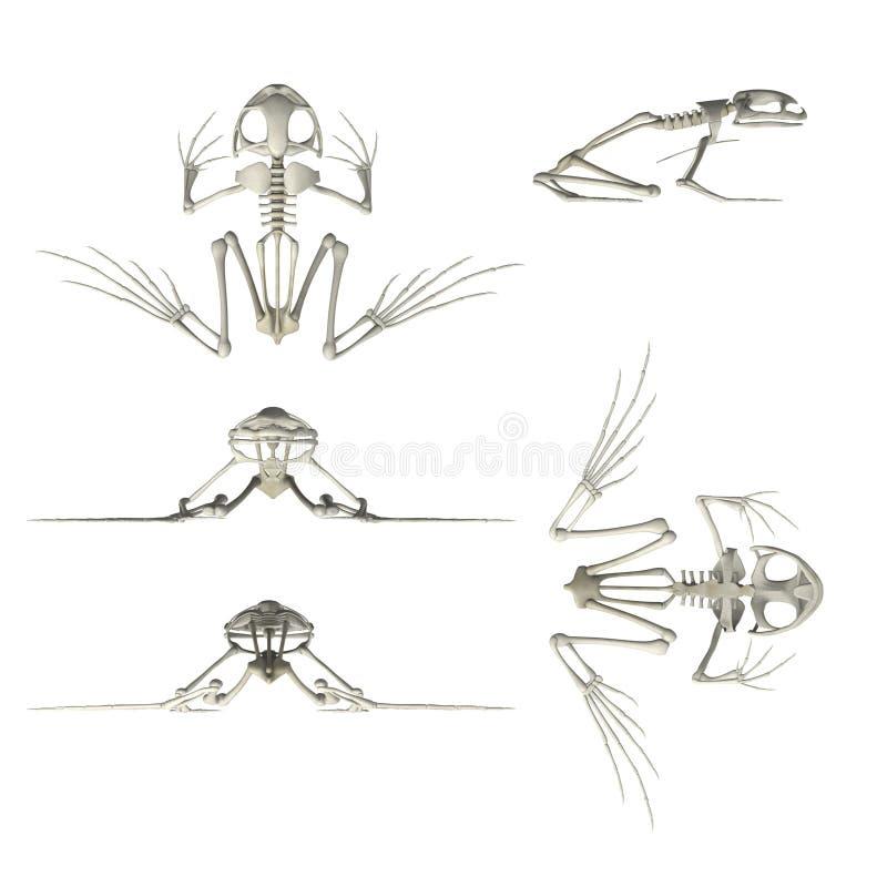 Het skelet van de kikker stock illustratie