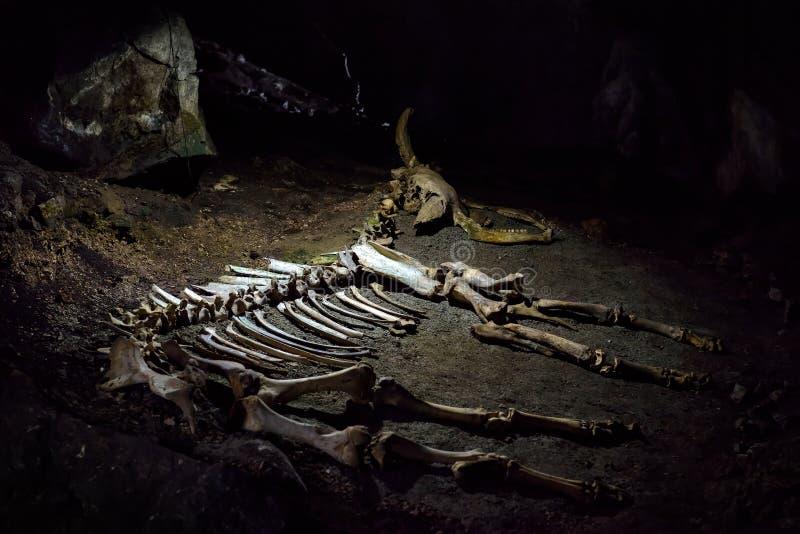 Het skelet van een voorhistorisch dier in het karst hol royalty-vrije stock fotografie