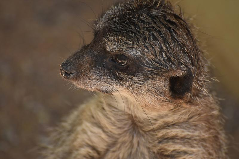 Het slaan Dichte bekijkt Omhooggaand het Gezicht van een Grondeekhoorn royalty-vrije stock fotografie