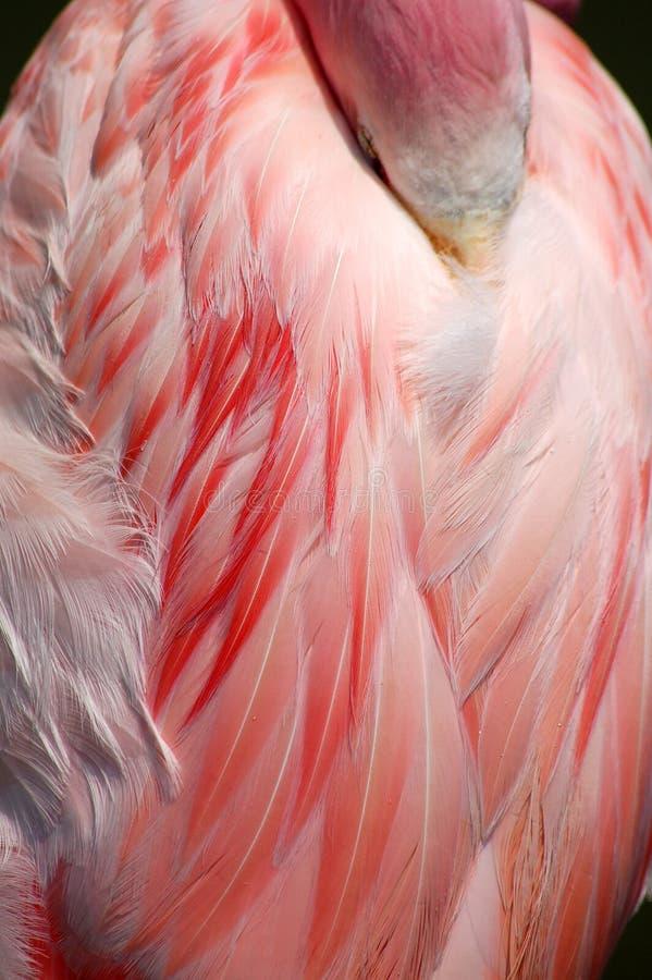 Het slapen bevedert het Grotere Flamingoroze Detail stock afbeelding