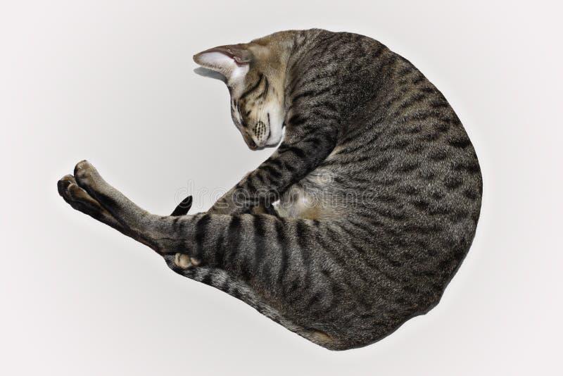 Het slapen gerolde kat stock foto