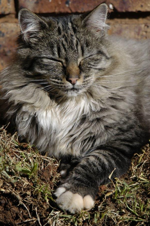 Het slapen grijze kat stock afbeelding