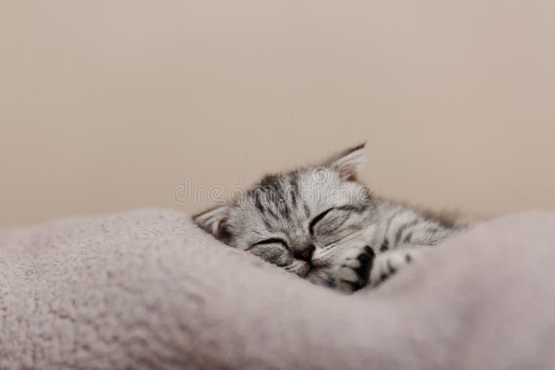 Het slapen leuk grijs katje op het bed Schotse kat met hangende oren royalty-vrije stock afbeeldingen