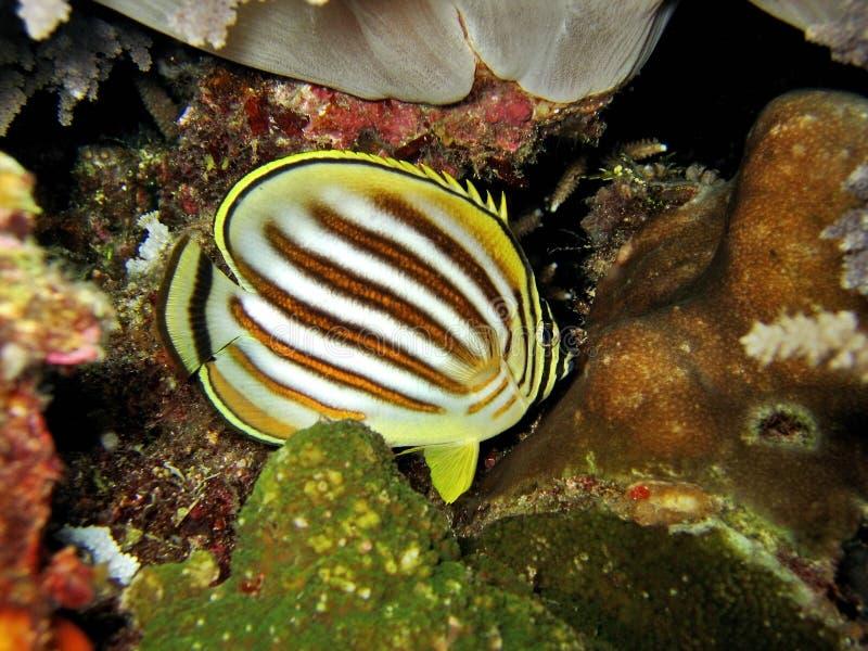 Het slapen Overladen Butterflyfish royalty-vrije stock afbeeldingen