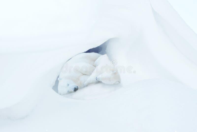 Het slapen twee het wit draagt welpen stock afbeeldingen