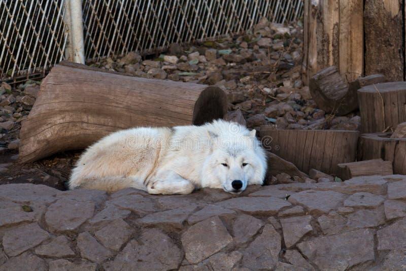Het slapen witte wolf in de dierentuin stock afbeeldingen