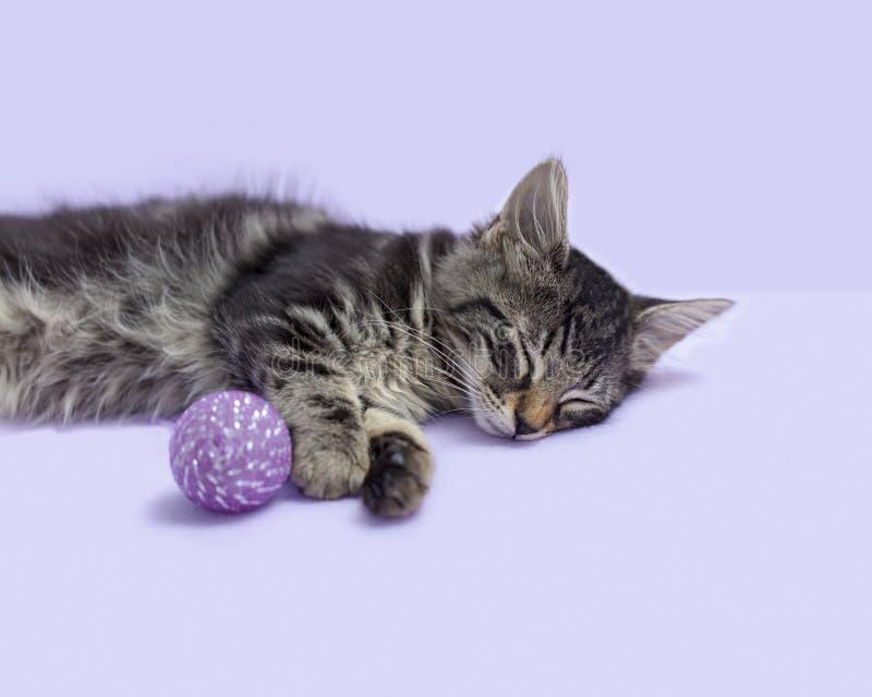 Het slapen Zwart gestreepte katkatje van het Eiland Man met kattenstuk speelgoed purpere achtergrond royalty-vrije stock afbeelding