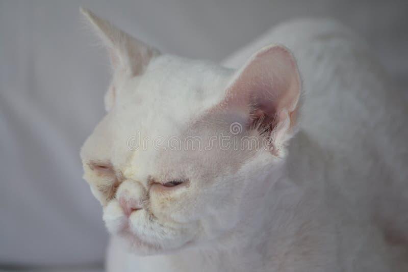 Het slaperige witte kat knipperen stock afbeelding