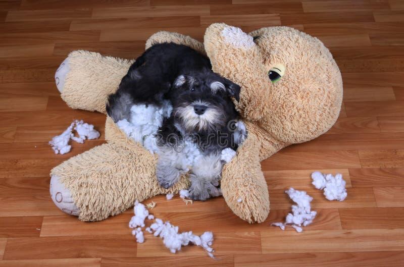 Het slechte ongehoorzame stuk speelgoed van de schnauzerhond vernietigde pluche royalty-vrije stock foto