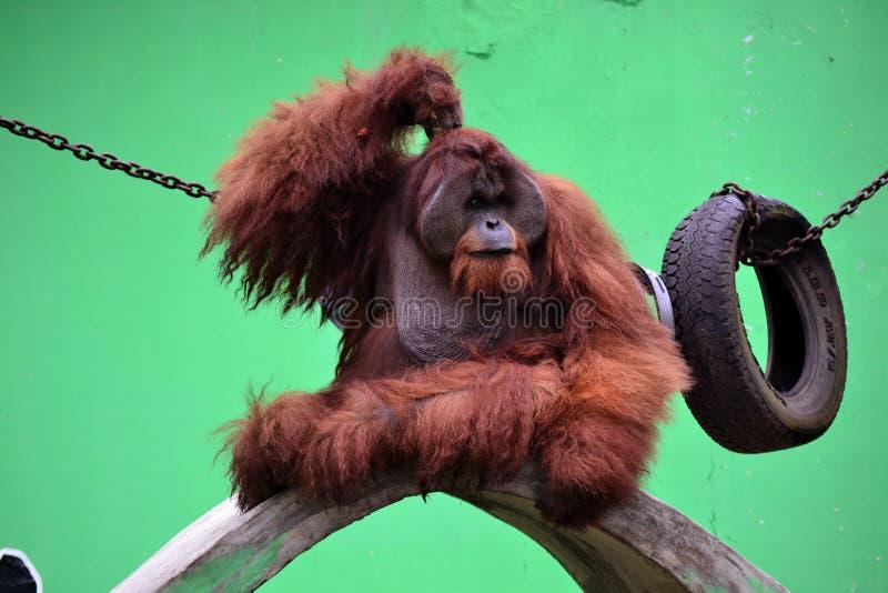 Het slimme aap denken royalty-vrije stock foto's