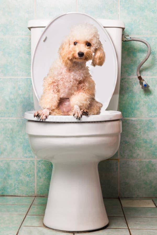 Het slimme beige poedelhond pooping in toiletkom stock fotografie
