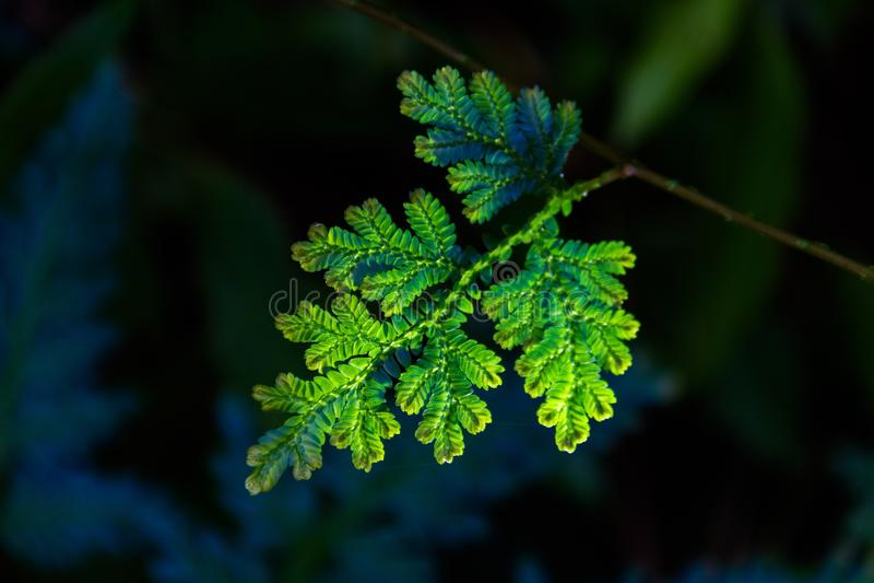 Het smaragdgroene blad royalty-vrije stock foto's