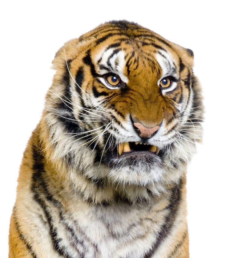 Het Snauwen van de tijger royalty-vrije stock afbeeldingen