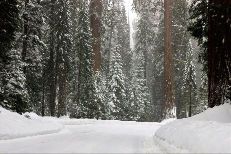 Het sneeuwen op Californische sequoiabomen en weg in Sequoia Nationaal Park Californië royalty-vrije stock afbeeldingen