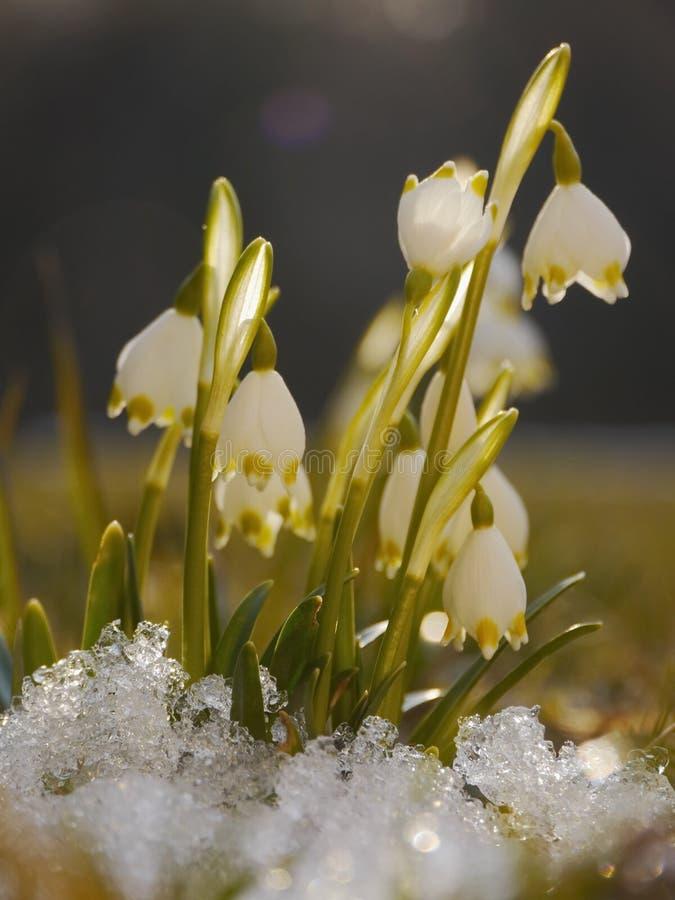 Het sneeuwklokje van de de lentesneeuwvlok royalty-vrije stock foto's