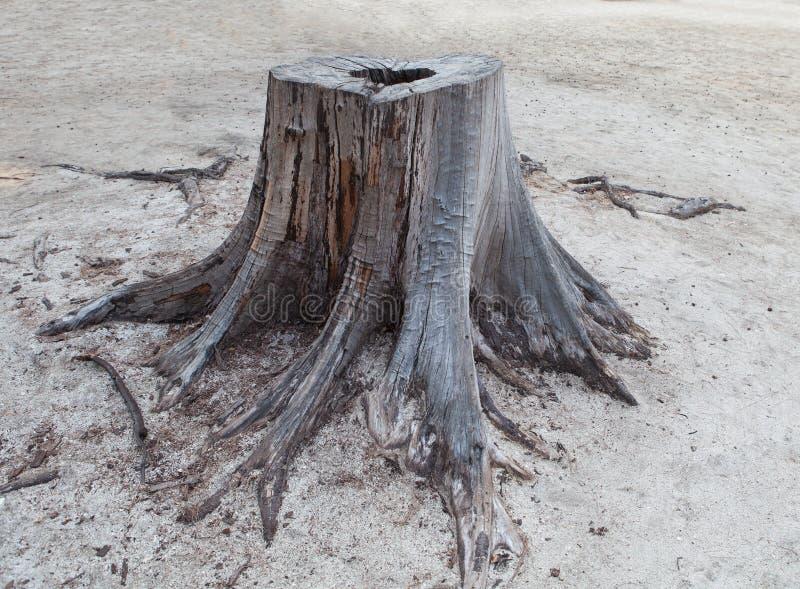Het snijden stierf aan de stomp van de pijnboomboom op zandstrand royalty-vrije stock afbeelding